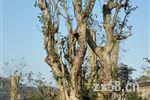 华莱万隆古茶树